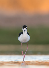 Morning Mosey (PeterBrannon) Tags: bird blackneckedstilt florida himantopusmexicanus longlegs marsh nature wadingbird wildlife morning youngstilt