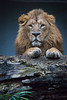 Asiatic lion (Cloudtail the Snow Leopard) Tags: tier animal säugetier mammal cat big katze groskatze raubkatze lion löwe panthera leo predator beutegreifer persica persischer asiiatischer indischer asiatic male zoo wilhelma stuttgart