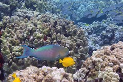 yellow tang: Zebrasoma flavescens, with bullethead parrotfish: Chlorurus spilurus (kris.bruland) Tags: yellowtangzebrasomaflavescens acanthuridae zebrasomaflavescens bulletheadparrotfishchlorurusspilurus scaridae chlorurusspilurus kahaluubeachpark yellowtang tang surgeonfish lauipala bulletheadparrotfish parrotfish uhu kailuakona kona northkona keahou westhawaii hawaiicounty bigisland coral hawaii hawaiian creature reef pacific ocean scuba sea snorkel underwater snorkeling tropical dive diver diving ecology ecosystem environment environmental fish krisbruland ichthyology ichthyologist island islands marine nature organism outdoor saltwater science undersea vertebrate water zoology life sandwich animal aquatic biology