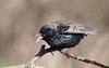 Starling (Greylake) (Steve Balcombe) Tags: bird starling sturnus vulgaris rspb greylake somerset levels uk