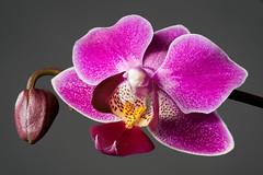 Orchidee_Stack (holgerreinert) Tags: orchidee stack heliconfocus dofstacking dof makro macro olympus mzuiko panasonic lumix lumixgx80