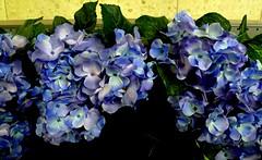 The BLUE (Ken-Zan) Tags: hortensia blue flower blomsterlandet kenzan ljunghav tumblr hivemind hive