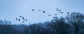Grues cendrées/ Cranes. (France/ Marne/ Lac du Der)