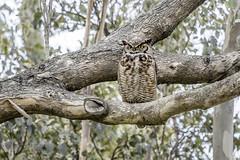 Great Horned owl (Jodi Newell) Tags: bird birds california canon greathornedowl jodisjourneys jodinewellgmailcom tree