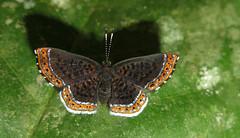Detritivora ma? (Camerar 4 million views!) Tags: butterfly detritivorama peru riodinidae butterflies insect
