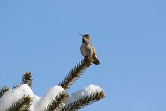 overwintering Anna's (Yutaka Seki) Tags: annashummingbird conifer coniferous tree pine cones leaves sky snow winter cold windy sunny february2018 colibrí picaflor beijaflor britishcolumbia