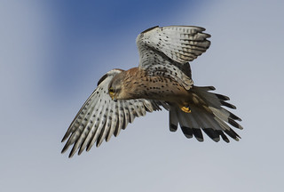 Kestrel - Eyeing the menu