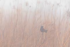 Red winged blackbird (Nature as Art Photography) Tags: birds middlecreek pennsylvania wildlifemanagementarea