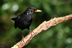 Blackbird with white patches. (spw6156 - Over 6,200,020 Views) Tags: blackbird with white patches copyright steve waterhouse