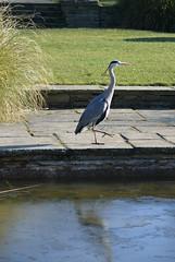 Heron near the frozen pond (Caulker) Tags: canonspark pond frozen heron