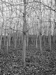 Kent Ormanı (Gokhan H.) Tags: monochrome blackandwhite kentormanı izmir inciraltı forest trees fall leaves deciduous autumn m43 olympus