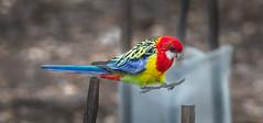 Landing gear out! (Matt OZW) Tags: easternrosella birds australia victoria