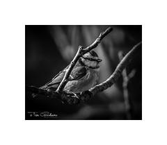 Blue Tit (timgoodacre) Tags: bluetit tit bird nature branch wildlife blue blackwhite blackandwhite monochrome mono