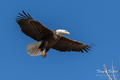 Bald Eagle approach and landing - 13 of 27