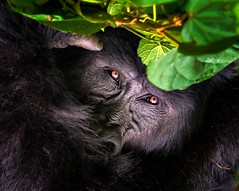 Mountain Gorilla (Rod Waddington) Tags: africa african afrique afrika uganda ugandan mountain gorilla bwindi impenetrable forrest forest wild animal wildlife nature portrait leaves outdoor
