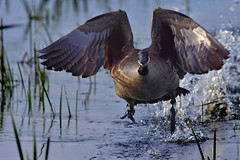 GooseTakeoffCloseup2 (Rich Mayer Photography) Tags: goose geese bird birds avian nature water fly flying flight wild life wildlife animal animals nikon