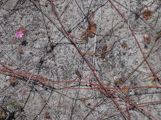 Drosera pulchella [pink], D. patens and Cassytha flava, Lake Gnangara, Perth, WA, 28/11/17
