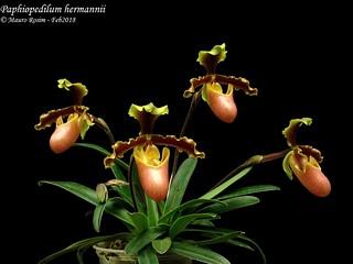 Paphiopedilum hermannii