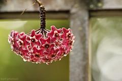 Pêndulo (AmeliaBerti) Tags: hoya hoyacarnosa pêndulo flor flowers flordecera quintaflower 100400mm