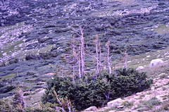 Krummholz, Near Treeline In The Rockies (Laurette Victoria) Tags: krummholz trees timberline rockies colorado fallmountain rockymountains rooseveltnationalforest