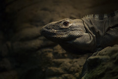Black Igauna Detroit Zoo October 2017 (njumer) Tags: animal animals vertebrates vertebrate wildlife detroit zoo photo photos photography canon rebel t2i dslr black igauna igaunas lizard lizards reptile reptiles zoos digital