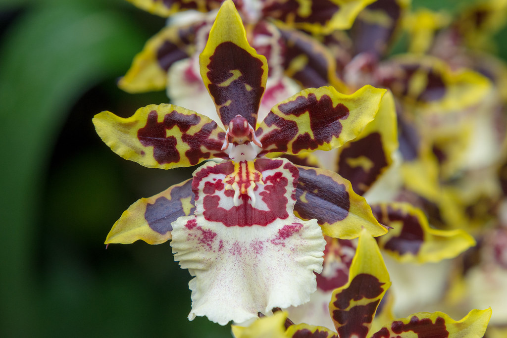 Daniel cohen orchid