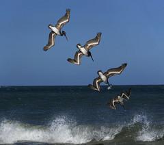 Diving Pelican (ClarkNate) Tags: pelican action burst sonya6000 sel55210 tamarindo costarica dive beach