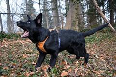 DSC_0149 (Charlotte Hoberg) Tags: german shepherd ipo dog training schutzhund black puppy cute animals animal bark bite bitework