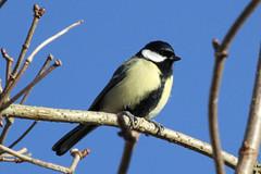 Great Tit (ericdavid44) Tags: birds tits