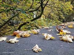 Leaves (Ineke Klaassen) Tags: leaves leaf blaadjes bladeren autumn herfst fall sonydschx1 sony sonyphotography sonyimages teamsony mirrorless arnhem closeup 1025fav 15faves 20faves 200views 2550fav 300views