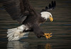 0N7A7060.jpg (Mike Livdahl) Tags: skagit eagles skagitriver