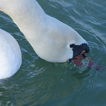 Mute Swan thumbnail