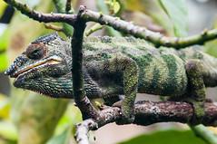 Madagascar-2988-_DSC2566 (beppevig) Tags: madagascar africa animali animals wild chameleon camaleonte rocks rocce roccia
