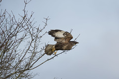 Buzzard taking off (AndyNeal) Tags: animal wildlife nature bird birdofprey buzzard essex smythes green birdsinflight