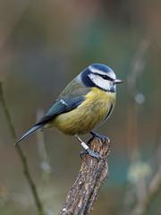Blue tit (martin_swatton) Tags: rspb blashford lakes hampshire uk birds wildlife olympus omd em1 mk1 mzuiko 300 f4 pro