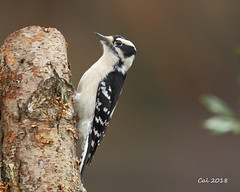 Downy Woodpecker Female 1  1-22-18 (Cal-Photo) Tags: wildlife nature tennessee middletennessee birds backyardbirds woodpecker downywoodpecker