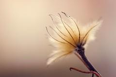 Winter fluff (JossieK) Tags: clematis seed seedhead fluffy soft feathery wispy macro plant