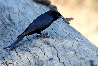 Fork Tailed Drongo with moth