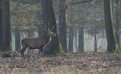 Edelhert / Cervus elaphus (m.ritmeester) Tags: ngc naturelovers natuur nederland veluwe edelhert bruin groen gelderland hoenderloo