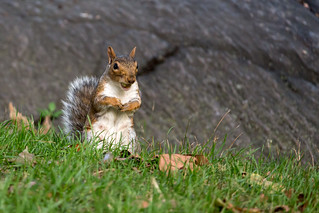 Squirrel collecting nuts for the winter in Central Park, NYC