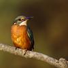 King fisher. (MaqPhi) Tags: martinpêcheurdeurope commonkingfisher france oiseau matin portrait nature water blue tree summer été bird