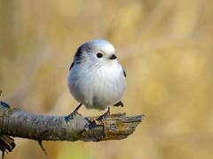 (lucamarasca1) Tags: animals nikkor 18200 d5500 nikon nikkorlens cacciafotografica natura codibugnolo uccelli fauna wild wildlife nature birdwatching bird