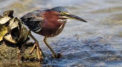 Little Green Heron (dianne_stankiewicz) Tags: bird heron greenheron wildlife nature coastal sea water