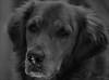 About a Dog (John Neziol) Tags: jrneziolphotography portrait petphotography animal pet petphotographer mammal animalphotography brantford beautiful bokeh blackwhite monochrome goldenretriever fieldretriever dog dognose snow outdoor nikon nikondslr nikoncamera nikond80 naturallight