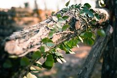 leafs (nicolas.birckel) Tags: tree trunk bush lush foliage garden path leaf deciduous woods branch fruit canopy