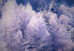 Forest of a hoarfrost 3 (chikaraamano) Tags: morning hoarfrost forest sparkling deposit bog felt neat plateau winter scenery white light field larchtrees meadow beautiful coloring mountain nature outdoor tree grass cold exhilarating lovely