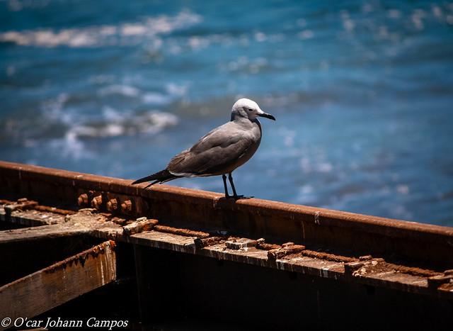 Gaviota garuma - Grey gull