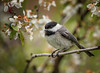 Coming Around Again (Kathy Macpherson Baca) Tags: animal animals bird birds world earth fly spring blossoms chickadee feathers planet nature tiny migrate nest adorable wildlife preserve longisland