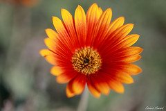 Bright and Pretty (edzwa) Tags: sydney newsouthwales australia au macroflower flower flowers macro closeup canon6dmarkii canon100mmf28lmacro canon garden