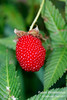 Rubus illecebrosus (Strawberry Raspberry /バライチゴ) from Japan (Wonder Kitsune) Tags: ediblefruit edibleplant edible raspberry strawberry berries redfruit jam rubusillecebrosus strawberryraspberry rubus バライチゴ japan